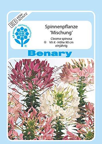 Benary - Mix - Cleome spinosa
