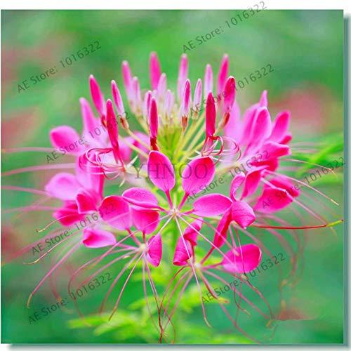 PinkdoseCleome spinosa flores Gartenblume plantas Bonsai-Anlage für den Außen- und Innen samll mittlere und große 100pcs  bag 4