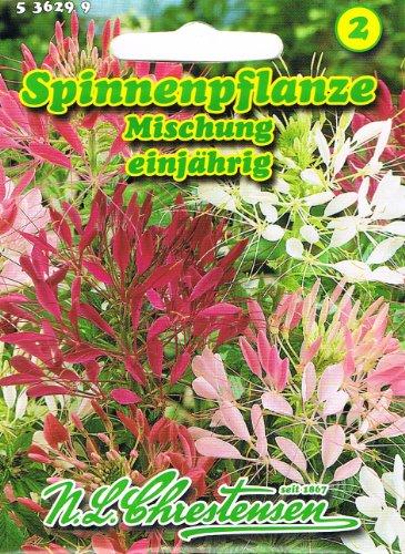 Spinnenpflanze Mischung einjährig dekorative Beet- und Gruppenpflanze Cleome spinosa