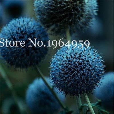 Bloom Green Co 200 Stück Rrae Riesen Allium Giganteum Bonsai Blume Lila Lauch Bio Herrliche Blumen Globemaster für Gartendekoration r