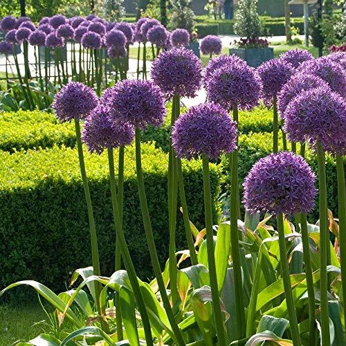 PLAT FIRM GERMINATIONSAMEN Allium Globemaster - Blüten Zwiebel - 1 Glühbirne - 22   cm