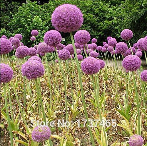 Shopmeeko SEEDS 100 Stück Riesen Allium Globemaster Allium Giganteum Blumentopfpflanzen frei Hausgarten Verschiffen