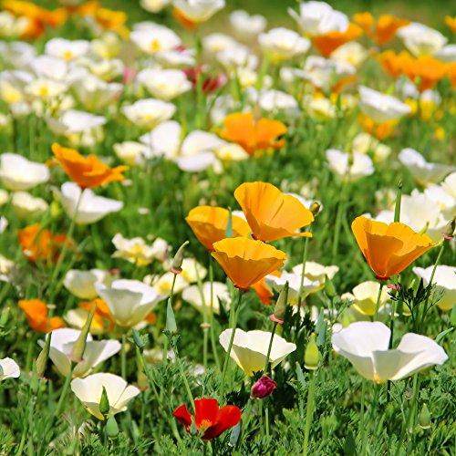 California Poppy Golden Poppy Samen - Kalifornischer Mohn