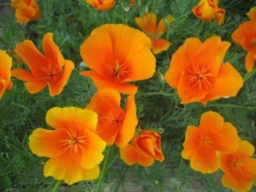 seekay Kalifornischer Mohn 600 Samen