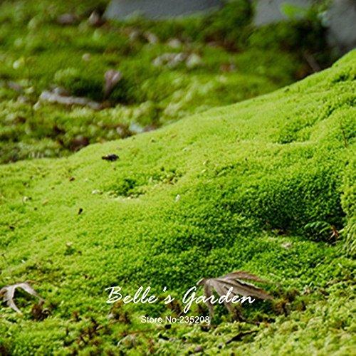 20pcs Sagina Subulata Samen Irish Moss Samen Garten-Bodendecke Kreative Pflanze DIY