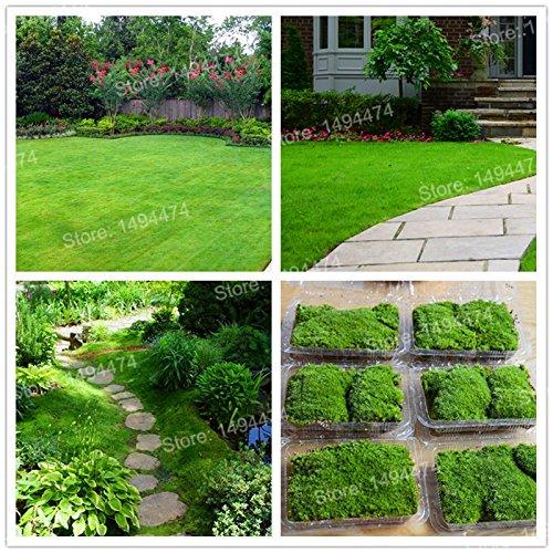 300pcs  bag Irish Moss Seeds Sagina Subulata Samen Torfmoos Bonsai dekorative Grassamen Zierpflanze für Hausgarten