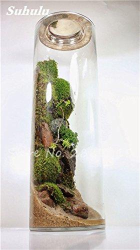 Importierte 200 Stück Irish Moss Samen Sagina Subulata Grün Schöne Moss Samen Garten Kreative Garnieren Pflanze Diy Freies Verschiffen 3