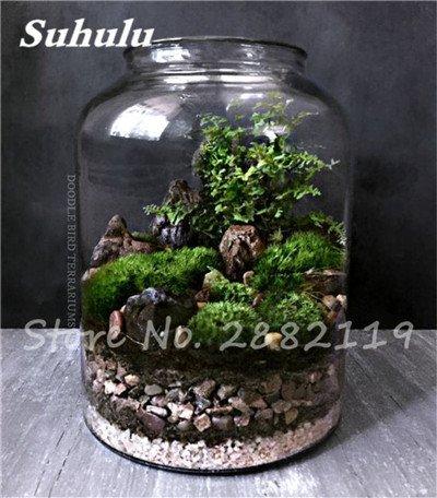 Importierte 200 Stück Irish Moss Samen Sagina Subulata Grün Schöne Moss Samen Garten Kreative Garnieren Pflanze Diy Freies Verschiffen 5