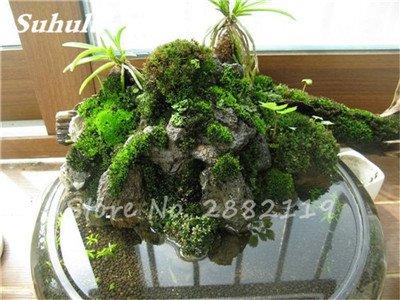 Importierte 200 Stück Irish Moss Samen Sagina Subulata Grün Schöne Moss Samen Garten Kreative Garnieren Pflanze Diy Freies Verschiffen 8