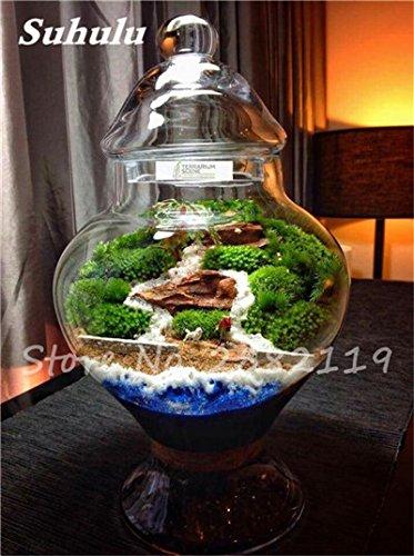 Importierte 200 Stück Irish Moss Samen Sagina Subulata Grün Schöne Moss Samen Garten Kreative Garnieren Pflanze Diy freies Verschiffen 6