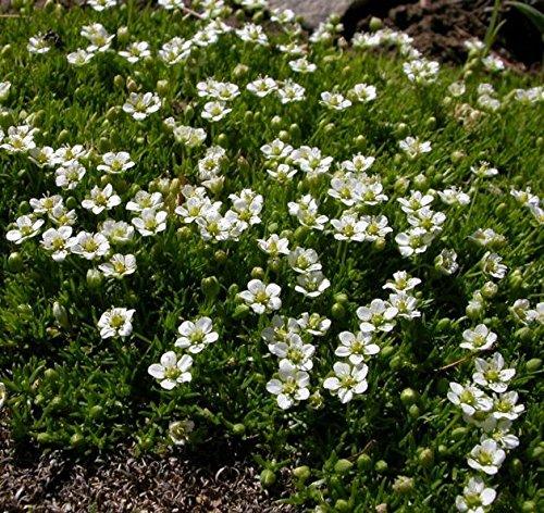 Irish Moss Heath Pearlwort samen - Sagina subulata - 1140 samen