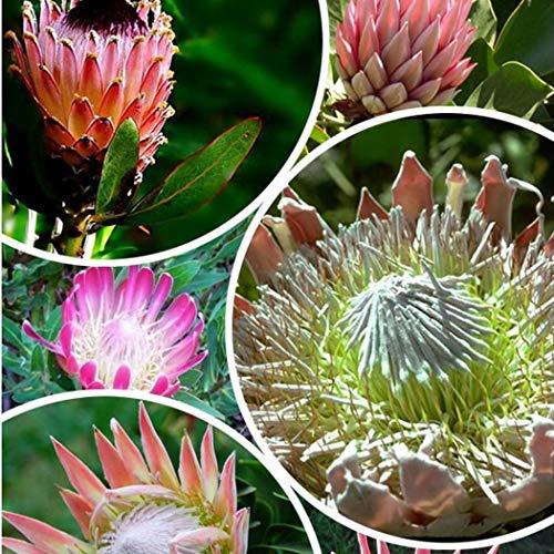Acecoee 20 TeileBeutel Protea Cynaroides Samen Seltene Bonsai Topfblumensamen Hausgarten