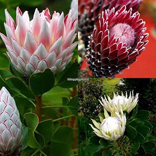 Go Garden 20Pcs  Bag Protea Cynaroides Samen Seltene Bonsai Topfblumensamen Eh7E 02