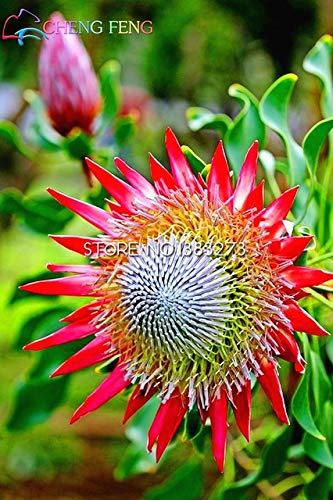 Pinkdose 50  pack Frische Seltene Protea Cynaroides Pflanzen Leicht Pflanz Seltene Bonsai Blumen Bonsai gemischt Farbe Schwarz