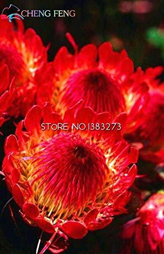 Pinkdose 50  pack Frische Seltene Protea Cynaroides Pflanzen Leicht Pflanz Seltene Bonsai Blumen Bonsai gemischt Farbe Weiß