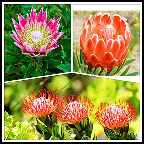 Pinkdose Frische Rare Protea Cynaroides Seeds Südafrika Nationale Blume Leicht Pflanz Seltene Bonsai Blumensamen 3 PC mischen