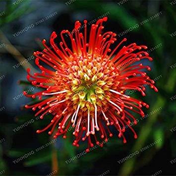 Virtue Frische Seltene Protea Cynaroides Samen Einfache Pflanzen Seltene Bonsai Blumensamen Variety Komplette 50 SamenPack Frische Seltene Blumensamen 7