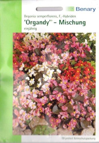 Begonien Organdy F1 Hybriden Mischung Begonia semperflorens ca 120 Samen