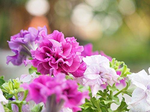 Petunie Double Cascade F1 Hybride Mischung - 15 Samen doppelblumig Petunia Glorious Mix
