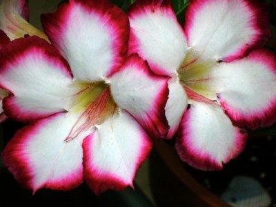 Wüstenrose Adenium obesum 5 Samen Love Valentine