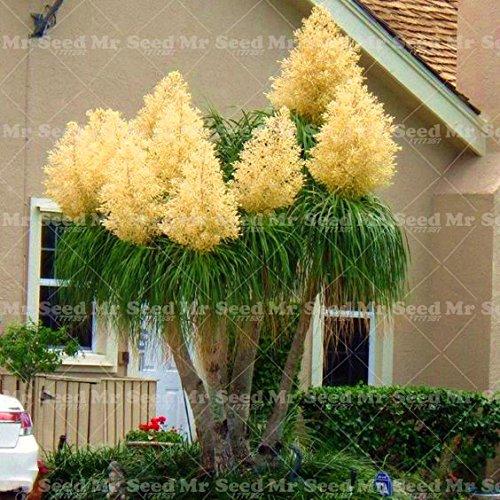 10PCS Pferdeschwanz-Palme Samen Exotische Pflanzen Bonsai-Baum-tropische Zierblumenevergreen Blumentopf Für Hausgarten