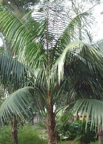 TROPICA - Kentiapalme Howea forsteriana - 3 Samen