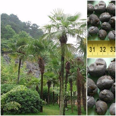Trachycarpus fortunei Hanfpalme 10 x Palmensamen -20 C frosthart