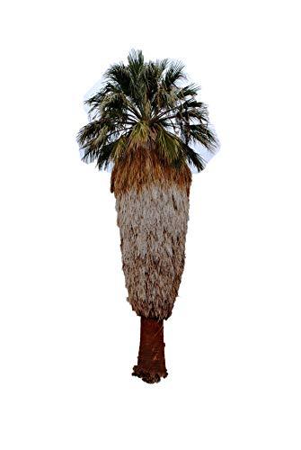 Washington Palme Washingtonia filifera 20 frische Samen Winterharte Palme