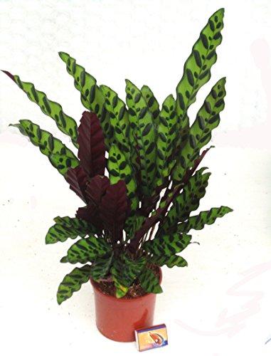 Calathea Insignis - Pfeilwurz Zimmerpflanze 14 cm Topf