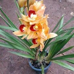 Pinkdose 50 StückeBeutel Rare Calathea Samen Lufterfrischer Pflanzen Eis Blumen Büro-Schreibtisch-Bonsai für Blumentopf Pflanzer Grün
