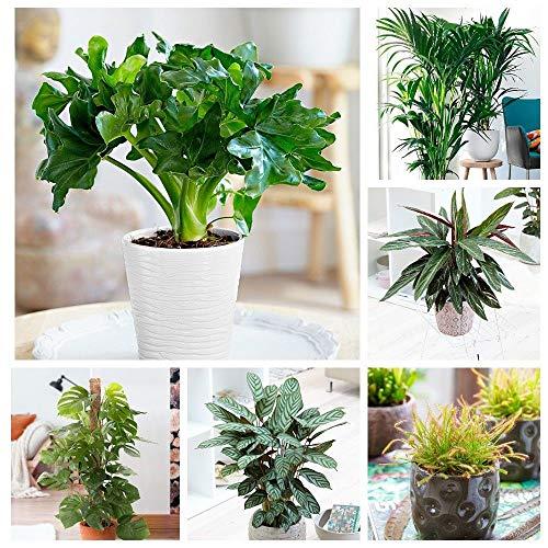 Portal Cool Sundew 100Pcs Green House Pflanzen Leicht Philodendron Samen Calathea Monstera Diy To Care