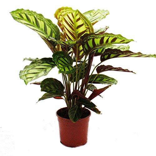 Schattenpflanze mit ausgefallenem Blattmuster - Calathea roseapicta - 14cm Topf - ca 50cm hoch