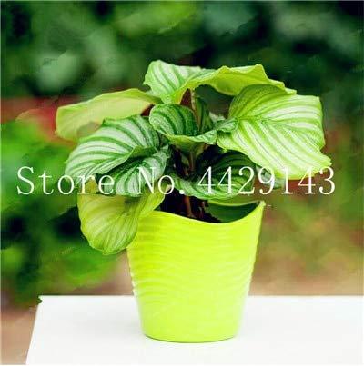Virtue 100 Stücke Blume Pflanze Seltene Calathea Warscewiczii Bonsai Einfach zu Wachsen Schreibtisch Bonsai für Blumentopf Pflanzgefäße DIY Hausgarten 1