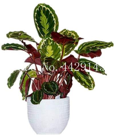Virtue 100 Stücke Blume Pflanze Seltene Calathea Warscewiczii Bonsai Einfach zu Wachsen Schreibtisch Bonsai für Blumentopf Pflanzgefäße DIY Hausgarten 13