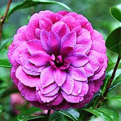 Bloom Green Co Camellia Bonsai100 reale gemeinsame Camellia Bonsai Topfblumen Bonsai Pflanze 24 Farben erhältlich 2 PartikelPackung 22