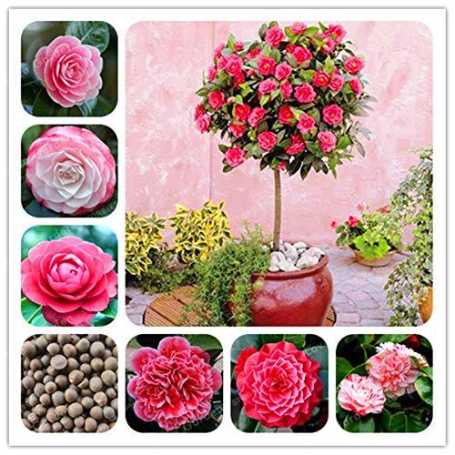 Bloom Green Co Große Blumen aus 100 Echt Camellia Bonsai Topfblumen Bonsai Pflanze 24 Farben erhältlich Heim amp Garten-2PCS  PACK mix