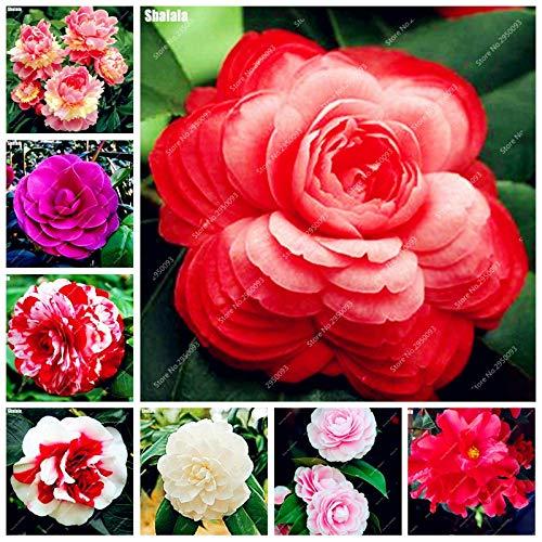 Go Garden 10 Stücke Bonsai Camellia Diy Topfpflanzen Blume Mehrjährige Indoor Amp Outdoor Pot Flore Pflanze für den Heimgartendekor Einfach zu züchten Gemischt