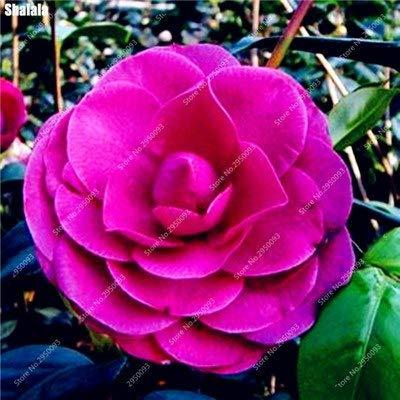 Go Garden 10 Stücke Bonsai Camellia Diy Topfpflanzen Blume Mehrjährige Indoor Amp Outdoor Pot Flore Pflanze für den Heimgartendekor einfach zu züchten 4
