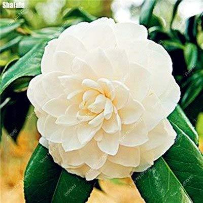 Go Garden 10 Stücke Bonsai Camellia Diy Topfpflanzen Blume Mehrjährige Indoor Amp Outdoor Pot Flore Pflanze für den Heimgartendekor einfach zu züchten 7