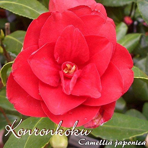 Kamelie Konronkoku - Camellia japonica - 3-jährige Pflanze