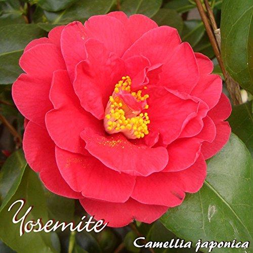 Kamelie Yosemite - Camellia japonica - 3-jährige Pflanze