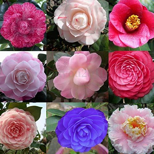 Plantree E-491004 10X Camellia Japonica japanische Tee-Pflanze Blumensamen Balsam Büro Hausgarten