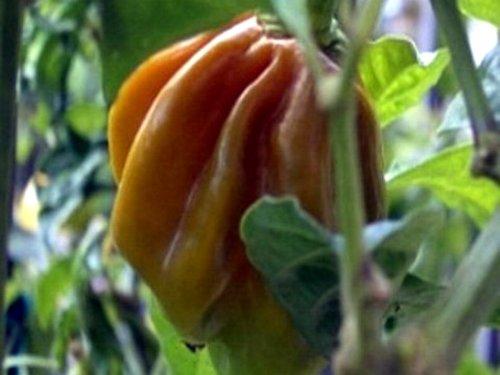 Habanero Mustard - senf- oder honigfarbenes Habanero-Chili - 10 Samen
