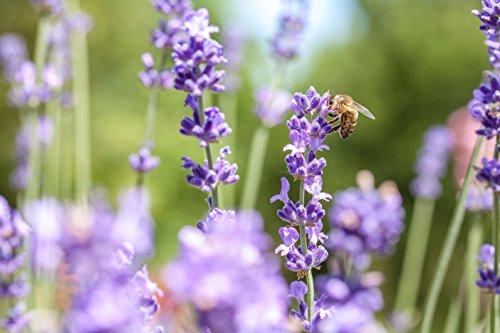 4 Stück Echter Lavendel im 05l Topf Winterhart für Beet und Balkon Bienenweide - floranza