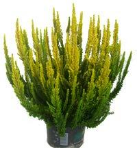 Calluna Skyline- Besenheide Heidekraut 13 cm Topf - winterhart mehrjährig immergrün sieht das ganze Jahr schön aus Als Balkonpflanze und Beetpflanze