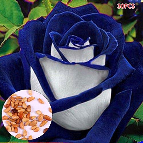 Soteer Garten-3050 stück Blumensamen Rosensamen mehrjährig Bunte Rose Blumen Samen für Ihr Garten Balkon Lange Blütezeit winterhart