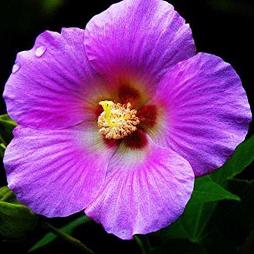 Yukio Samenhaus - 100 Stück Baumwollrose Hibiscus mutabilis Samen winterhart Blumenmeer für Ihr GartenBalkon Terassen Bonsai