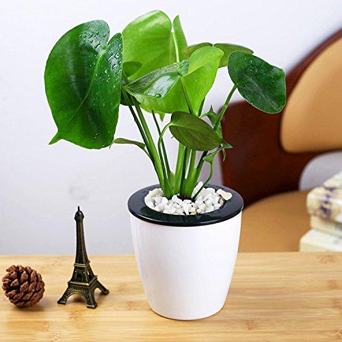 Monstera Topfpflanzen - 20 Samen Indoor Zierpflanzen Grüner Blätter Immergrün