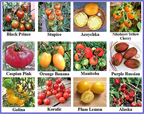 Tomatensamen Sortiment 12 seltene alte Sorten samenfest und Kältetolerant für kurzen und kühleren Sommer gut geeignet