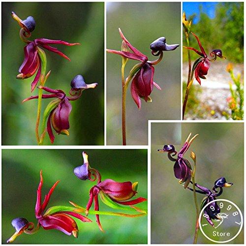 100 Samen Ente Orchidee Lila Bordeaux Seltene Pflanze Black Orchid Seeds Garten Pflanzen Topfblumensamen